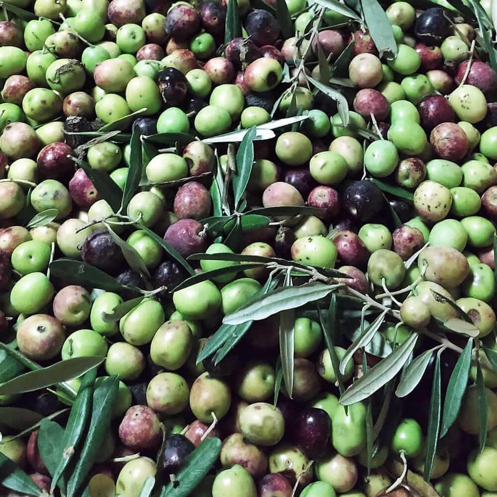 Farneto del Principe - le olive varietà Roggianella
